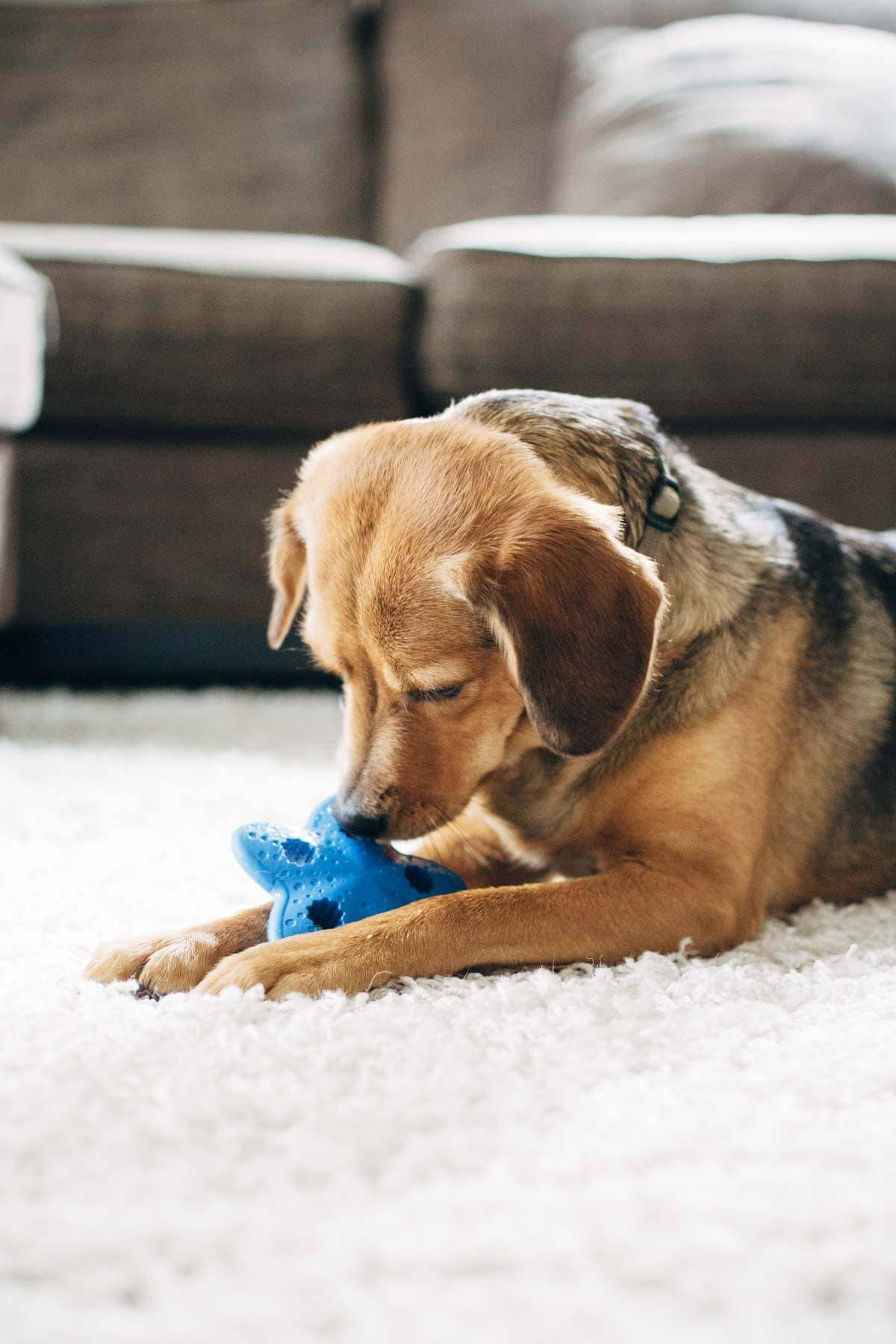 Dog playing with a toy.